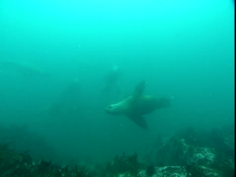 vídeos de stock, filmes e b-roll de a raft of steller's sea lions swims close to the ocean floor in murky blue water. - mamífero aquático