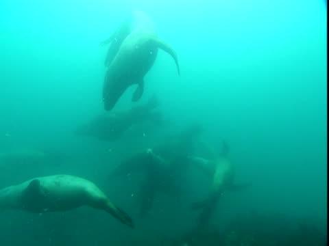 vídeos de stock, filmes e b-roll de a raft of steller's sea lions swims in murky blue water. - mamífero aquático