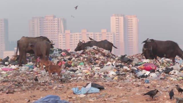 A rag picker walks through garbage at the Deonar landfill site in Mumbai India on Wednesday March 11 Buffaloes graze among garbage Stray dogs rest on...
