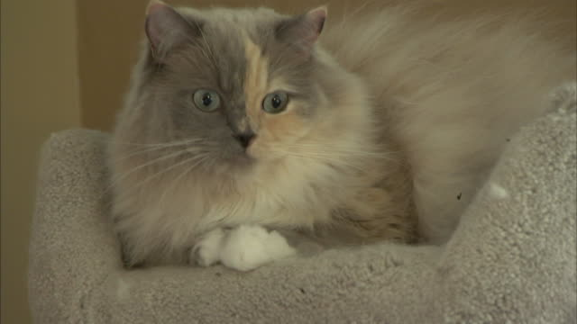 a ragamuffin cat rests in a pet bed. - pet bed stock videos and b-roll footage