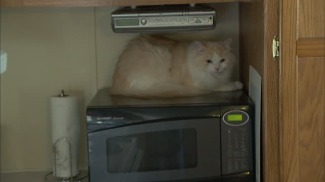 a ragamuffin cat rests on top of a microwave. - microwave stock videos & royalty-free footage