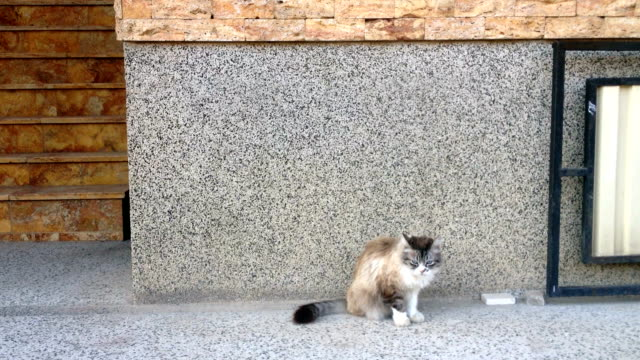 ragdoll male cat - mixed breed cat stock videos & royalty-free footage