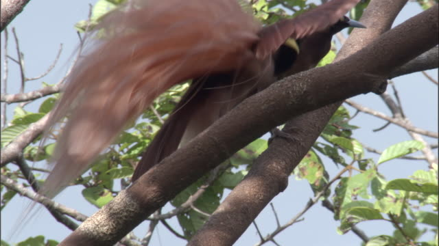 Raggiana bird of paradise (Paradisaea raggiana) displays to female, Papua New Guinea