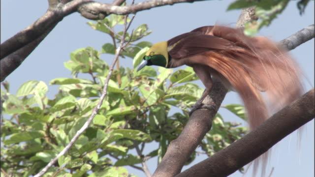 raggiana bird of paradise (paradisaea raggiana) displays to female, papua new guinea - bird of paradise plant stock videos & royalty-free footage