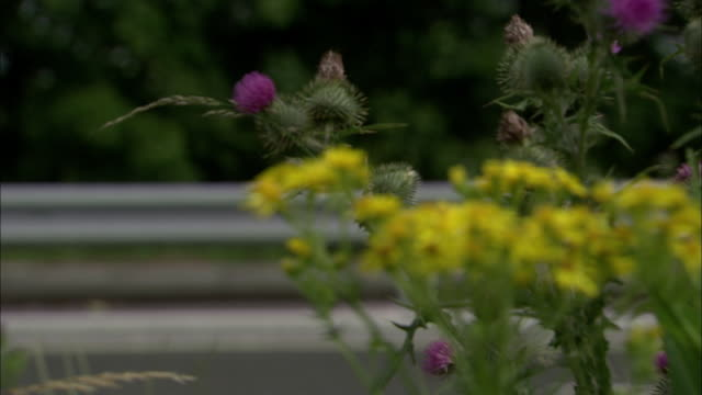 stockvideo's en b-roll-footage met ragwort (jacobaea vulgaris) grows on motorway verge, uk - autosnelweg