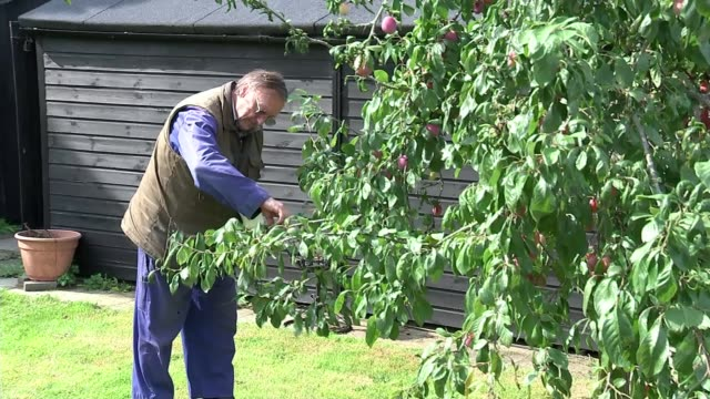 Government announces review of HS2 ENGLAND Uxbridge Harefield EXT Ron Ryall along through garden and picking fruit from trees
