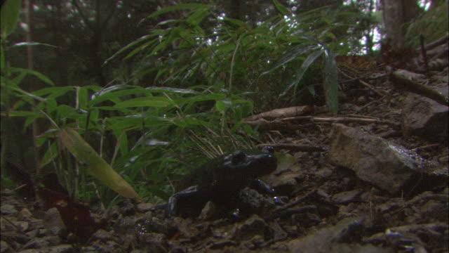 rain _daigahara nara - salamander stock videos and b-roll footage