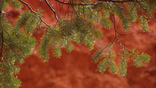 rain dripping off trees, red rock in background available in hd. - 針状葉点の映像素材/bロール