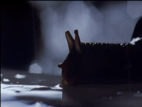 vidéos et rushes de rain drips down onto crawling snail uk - escargot