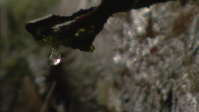 vidéos et rushes de rain drips from a branch. - branche partie d'une plante