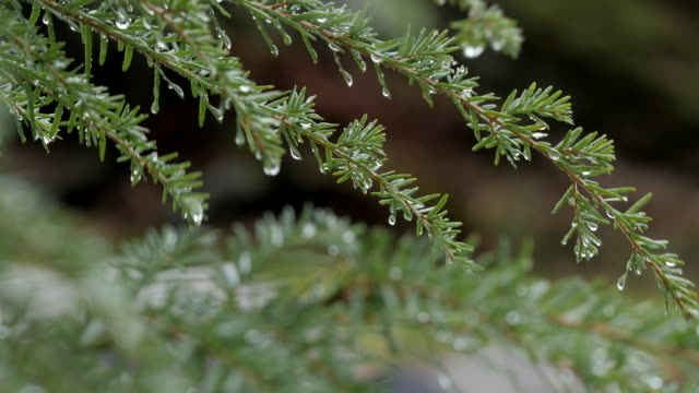 Rain droplets on branches of pine tree in wind