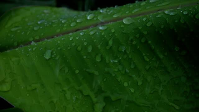 rain drops and banana leaves slow motion video - slip banana stock videos & royalty-free footage