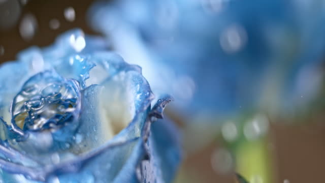 slo mo rain drops falling on a blue rose - rose stock videos & royalty-free footage