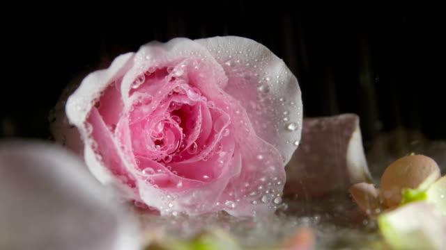 vídeos y material grabado en eventos de stock de gotas de lluvia cayendo sobre la rosa - una rosa