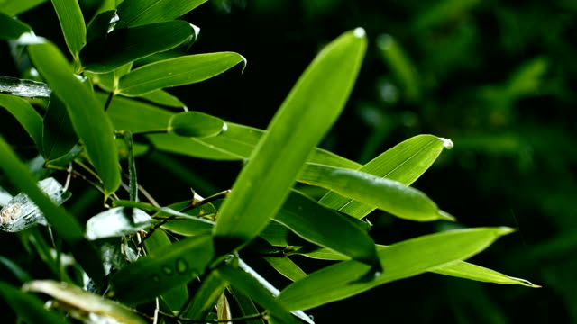 rain drops into bamboo leaf - bamboo plant stock videos and b-roll footage