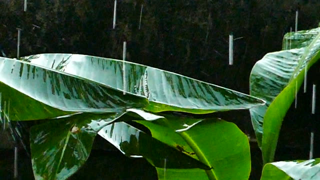 rain drops on banana leaf - banana stock videos & royalty-free footage