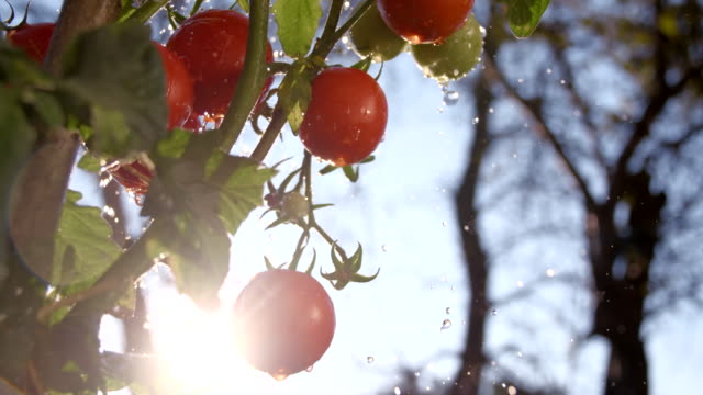 stockvideo's en b-roll-footage met slo mo rain drops splashing agains tomatoes - water geven