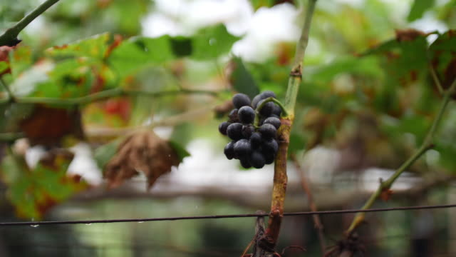 rain drops to grape leaf in the vineyard, 4k - grape leaf stock videos and b-roll footage