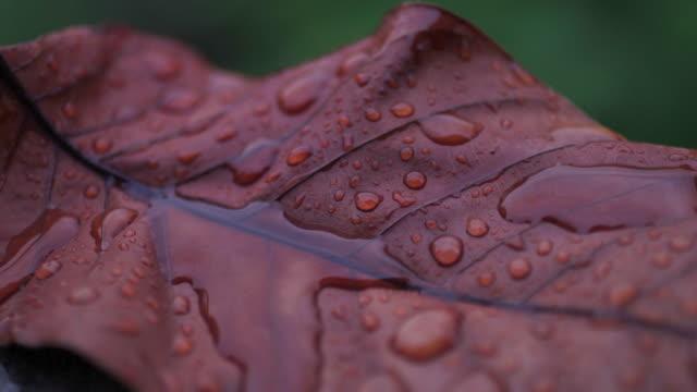 vídeos de stock e filmes b-roll de rain fall on dry leaf dolly shot - orvalho