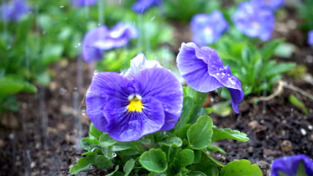 rain fall on violet - watering stock videos & royalty-free footage