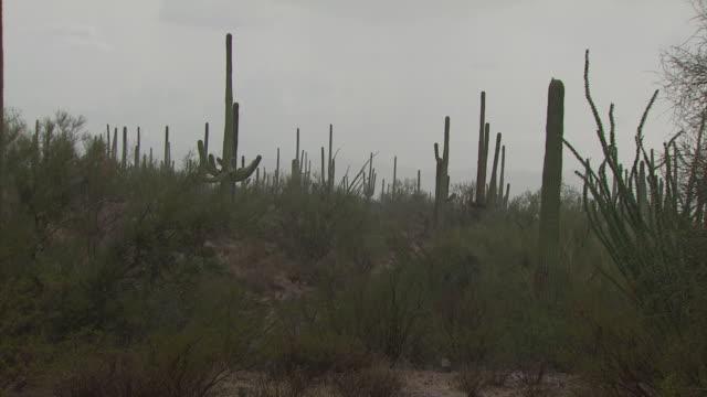 rain falling amongst lots of saguaro cactus and jumping cactus (cholla), sonoran desert, arizona, usa - torrential rain stock videos & royalty-free footage