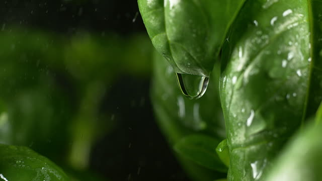 rain falling basilisk, ocimum basilicum, normandy, slow motion 4k - normandy stock videos and b-roll footage