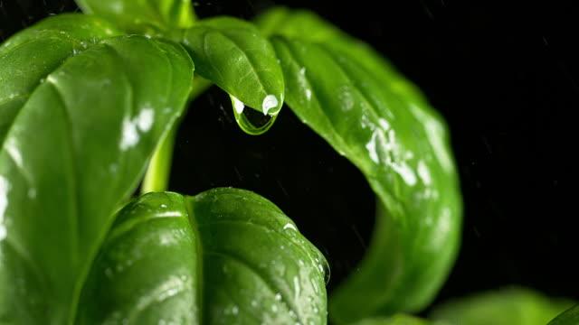 Rain falling Basilisk, Ocimum basilicum, Normandy, Slow motion 4K
