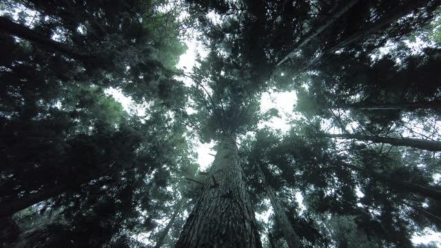 vidéos et rushes de pluie tombant de la cime des arbres - pin