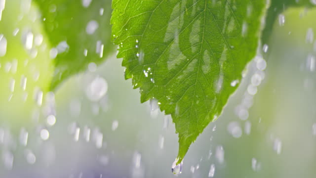 SLO MO LD Rain falling on a leaf