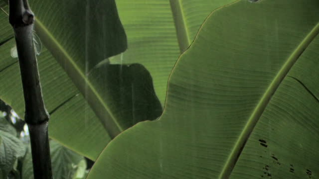 vidéos et rushes de cu rain falling on large leaves in rainforest/ manu national park, peru - de grande taille
