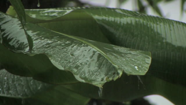 cu rain falling on large leaves/ manu national park, peru - 雨林点の映像素材/bロール