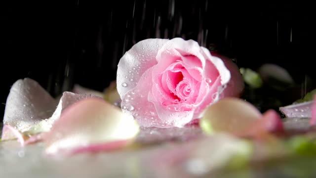 vídeos y material grabado en eventos de stock de lluvia cayendo sobre la rosa - una rosa