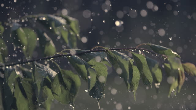 vidéos et rushes de cu pluie tombant sur les feuilles d'arbre fruitier - verger