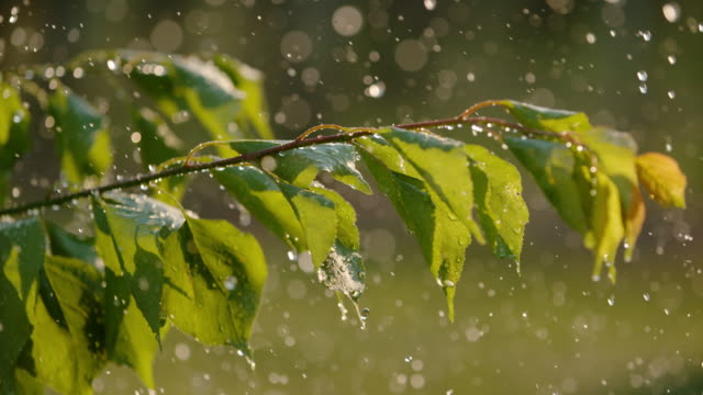 cu regen fällt über grünen obstbaum - blatt pflanzenbestandteile stock-videos und b-roll-filmmaterial