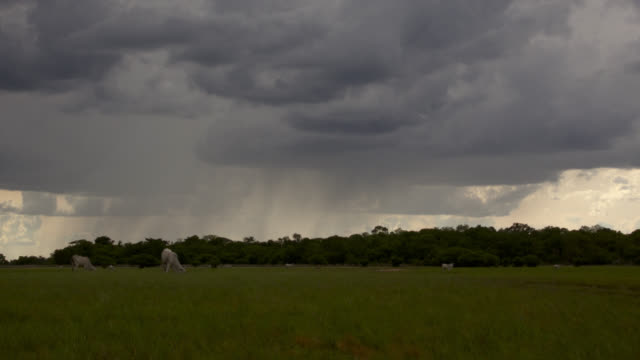 Rain falls as clouds scud over grazing cattle on grassland.