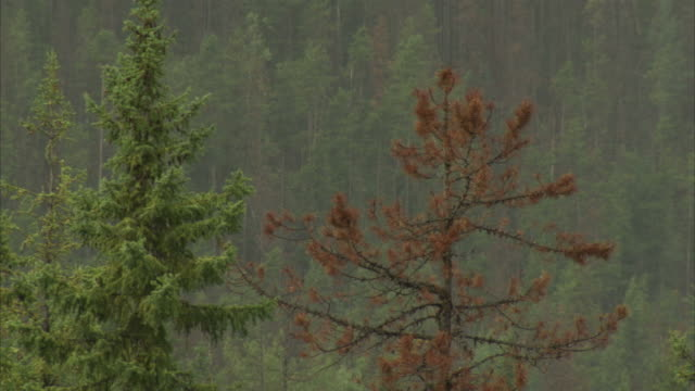 rain falls in an evergreen forest in banff national park. available in hd - natural parkland stock videos & royalty-free footage