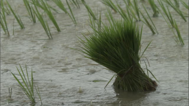 rain falls on a bundle of rice plants in a muddy rice field. available in hd. - rice paddy stock videos and b-roll footage