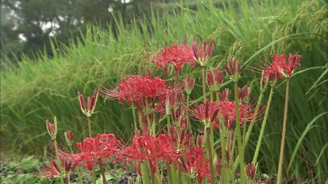 vídeos y material grabado en eventos de stock de rain falls on a field filled with tall grasses and spider lilies. - hymenocallis caribaea
