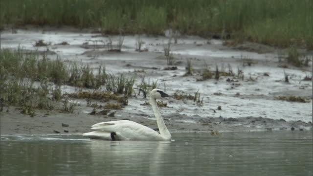 Rain falls on a lake as a trumpeter swan glides across.