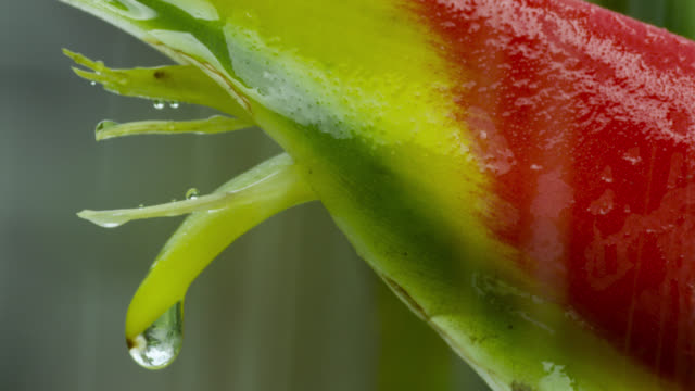 rain falls on bract and flower of heliconia rostrata. - heliconia stock videos & royalty-free footage