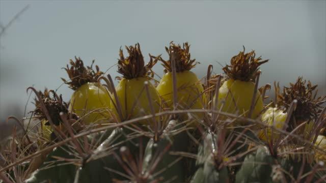 """rain"" falls on fishhook barrel cactus - barrel cactus stock videos and b-roll footage"