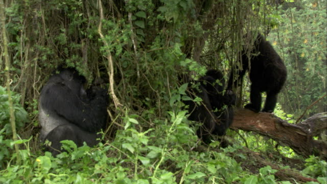 Rain falls on mountain gorillas sheltering under hanging vines. Available in HD.