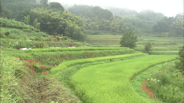 vídeos y material grabado en eventos de stock de rain falls on terraced rice paddies. - hymenocallis caribaea