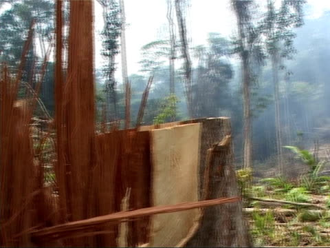 vídeos de stock, filmes e b-roll de rain forest deforestation area of forest where trees have been felled with logger standing close to stumps / remains of felled trees / smoke drifting... - forester