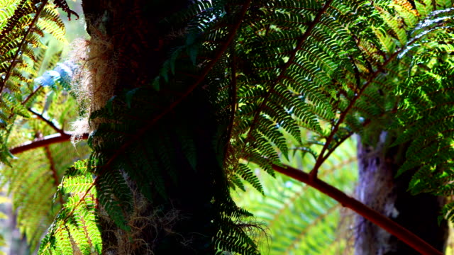 rain forest in reunion island - dicksonia antarctica stock videos & royalty-free footage