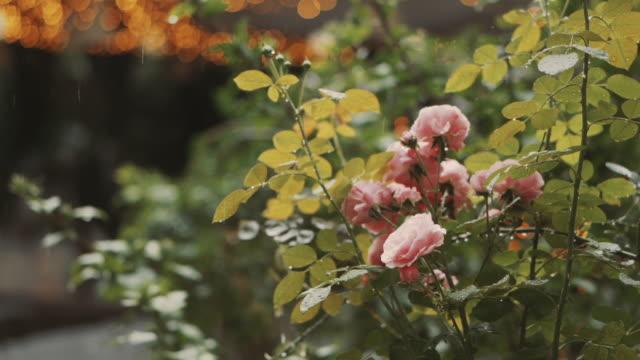 曇りの予報で日中雨が花に水をやっている - ゼラニウム点の映像素材/bロール