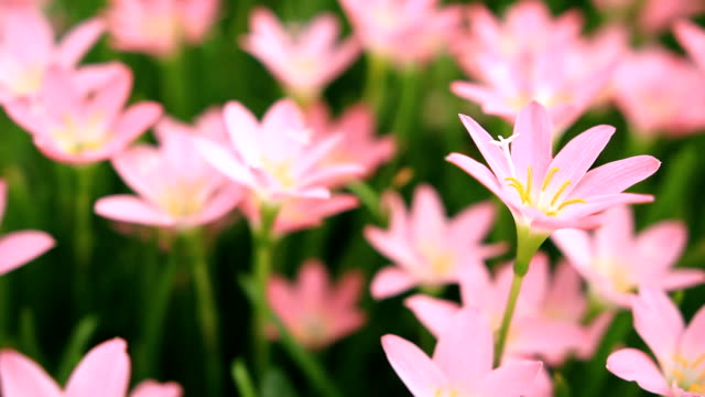 rain lily - tiger lily stock videos & royalty-free footage