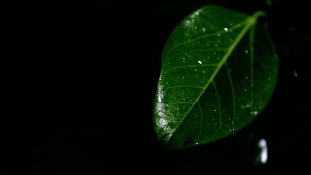 vídeos de stock, filmes e b-roll de chuva na folha verde da árvore de banyan - water form
