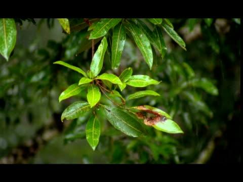 rain on leaves, nagarahole, southern india - monsoon stock videos & royalty-free footage