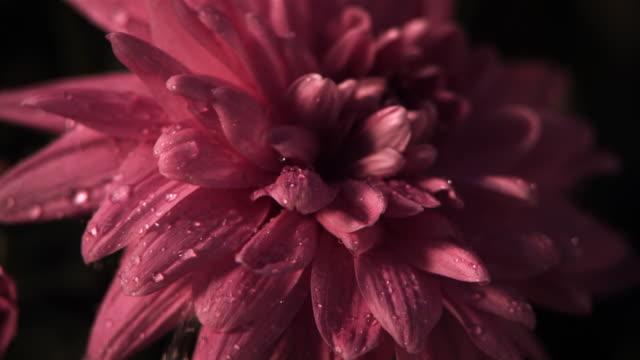 Rain on pink dahlia